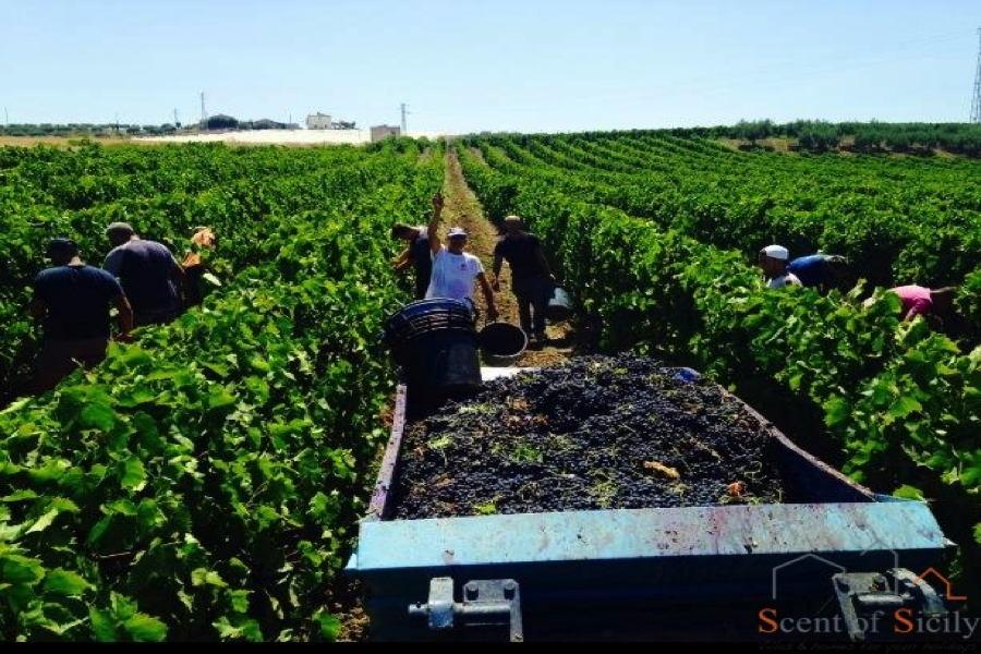 Sicily the vineyards in September
