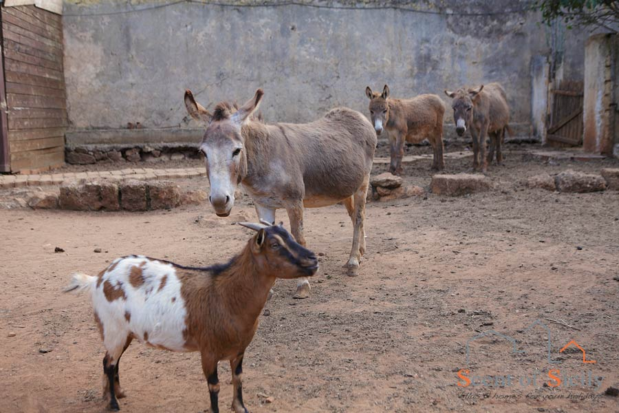 The cute donkeys and the goat