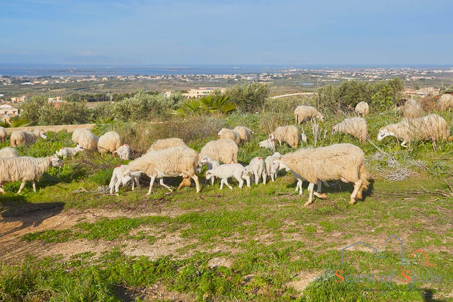 Sicily, Marsala, the sheep near the villa