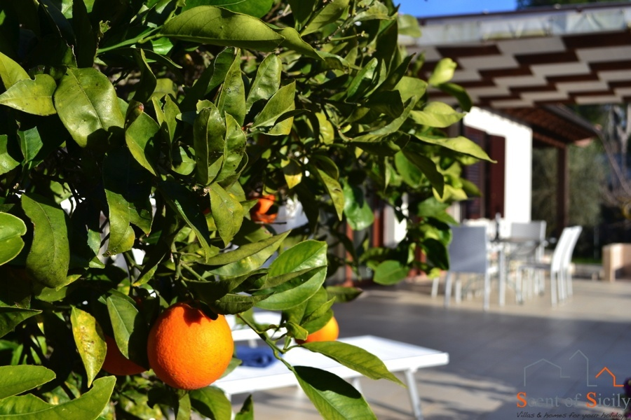 Tipical Sicilian Orange Trees
