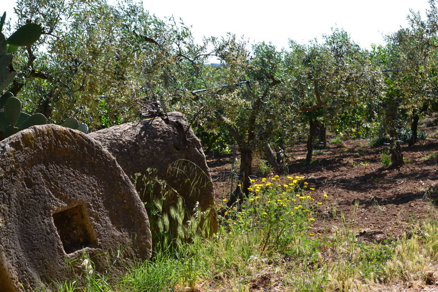 Tipical Sicilian Olive Trees