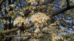 sicily spring tree