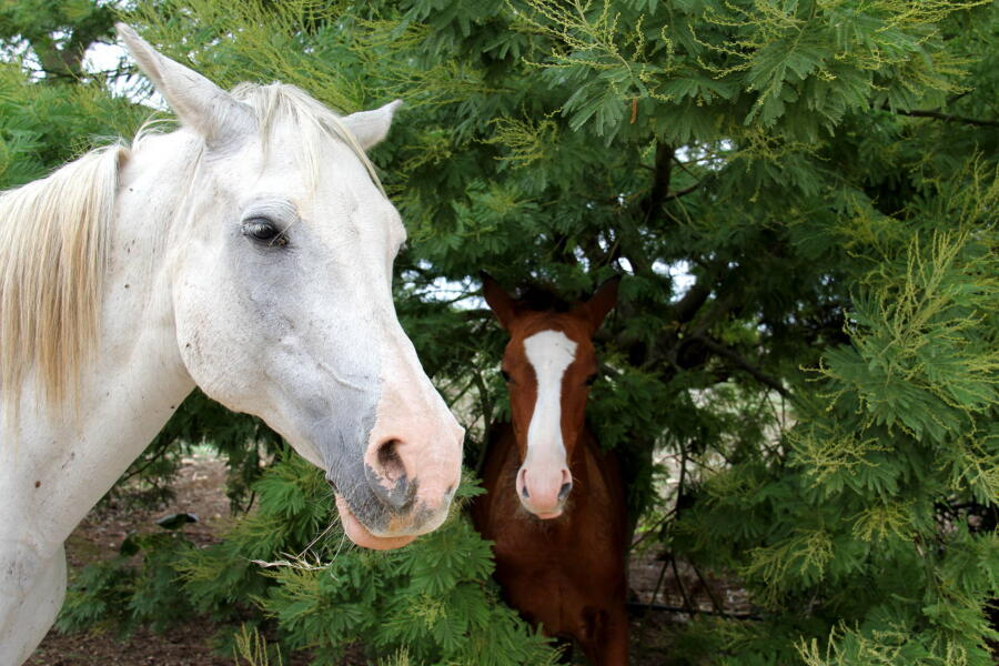 Two delightful horses living in a part of the garden of the historic residence.